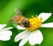 Bijen op bloem Royalty-vrije Stock Foto