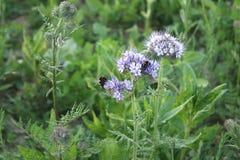 Bijen op bloemen Stock Foto