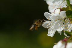 Bijen op bloemenappel Royalty-vrije Stock Afbeeldingen