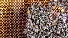 Bijen op de honingraat stock videobeelden