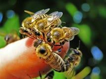 Bijen op de vinger van hand. Stock Foto's