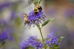 Bijen op donkere ridder bluebeard Stock Foto's
