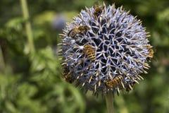 Bijen op een bloem Stock Foto's