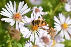 Bijen op een bloem van een kamille Stock Foto's