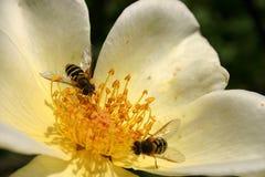 Bijen op een gevoelige bloem Stock Afbeelding