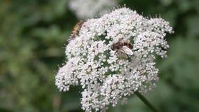 Bijen op een witte bloem die in de wind golven stock videobeelden