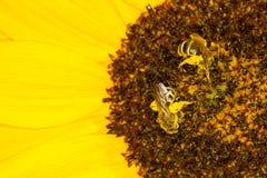 Bijen op een zonnebloem Royalty-vrije Stock Afbeeldingen