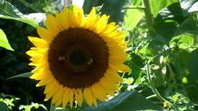 Bijen op een zonnebloem stock video