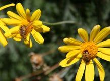 Bijen op gele ragwortbloemen met groene achtergrond royalty-vrije stock afbeelding