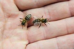 Bijen op hand Stock Afbeelding