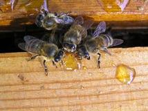 Bijen op het werk Royalty-vrije Stock Afbeeldingen