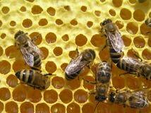 Bijen op het werk Stock Afbeelding