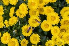 Bijen op het werk aangaande gele bloeiende achtergrond Stock Foto