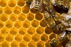 Bijen op honeycells Stock Fotografie