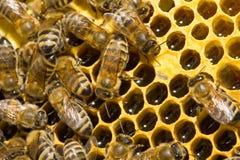Bijen op honeycells Stock Afbeelding
