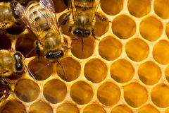 Bijen op honeycells Royalty-vrije Stock Afbeeldingen