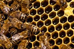 Bijen op honeycells royalty-vrije stock foto