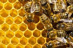 Bijen op honeycells Stock Afbeeldingen