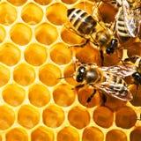 Bijen op honeycells Royalty-vrije Stock Fotografie