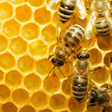 Bijen op honeycells Royalty-vrije Stock Afbeelding