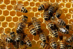 Bijen op honingraat Stock Foto