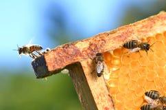 Bijen op honingraat Stock Afbeeldingen