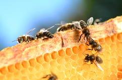 Bijen op honingraat Stock Afbeelding