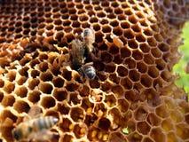 Bijen op honingraat Royalty-vrije Stock Fotografie