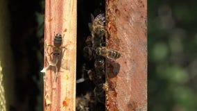 Bijen op kaders stock video