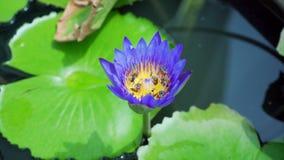 bijen op lotusbloem