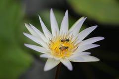 Bijen op lotusbloembloem stock afbeeldingen