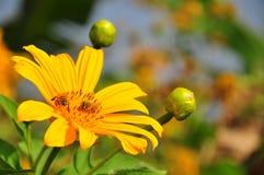 Bijen op Tithonia-diversifolia of Mexicaans zonnebloemonkruid Stock Foto