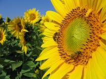 Bijen op zonnebloem Stock Afbeelding