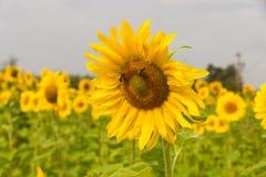 Bijen op zonnebloem Royalty-vrije Stock Afbeelding