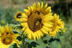 Bijen op zonnebloem royalty-vrije stock fotografie