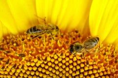 Bijen op zonnebloem - close-up Royalty-vrije Stock Afbeelding