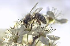 Bijen witte bloem Stock Afbeelding