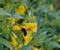Bijen zwarte gele bloem Stock Afbeelding