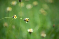 Bijenarbeider die stuifmeel van grasbloemen verzamelen Stock Afbeeldingen