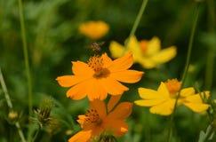 Bijenarbeider op bloemen Stock Fotografie