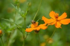 Bijenarbeider op bloemen Stock Foto