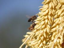 Bijenbestuiving Stock Foto