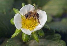 Bijenbestuiving van een aardbeibloem stock afbeeldingen