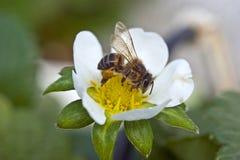 Bijenbestuiving van een aardbeibloem stock foto