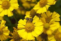 Bijenbestuiving van een madeliefjebloem royalty-vrije stock afbeeldingen