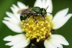 Bijenbloemen Stock Afbeeldingen