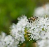 Bijenclose-up op witte wilde rozemarijnbloem stock foto