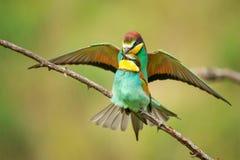 Bijeneters Merops die apiaster op een kleurrijke achtergrond koppelen Royalty-vrije Stock Fotografie
