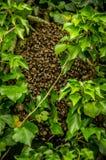 Bijenkolonie van bijen in een boom stock fotografie