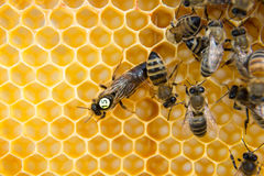 Bijenkoningin in bijenbijenkorf die eieren leggen Royalty-vrije Stock Fotografie